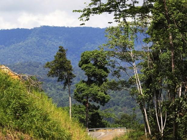 Ficus punctata 3Y3A2621.JPG