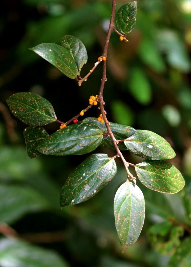 Ficus recurva 3Y3A4090.JPG