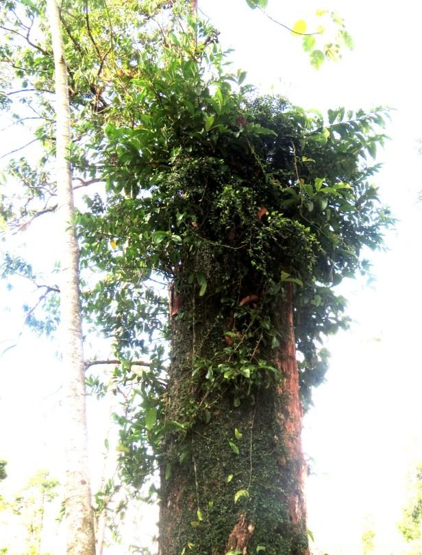 Ficus recurva IMG_1325