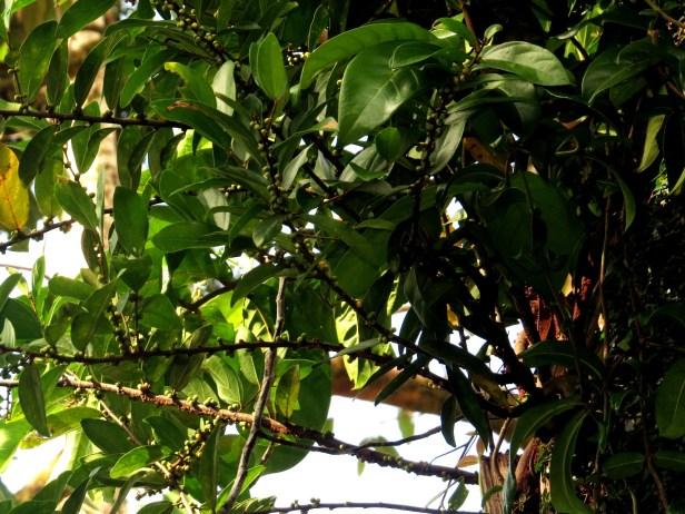 Ficus recurva IMG_1327 .JPG
