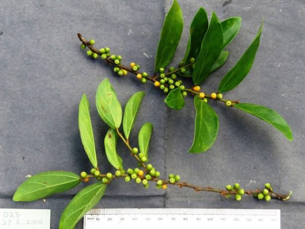 Ficus recurva IMG_1333.JPG