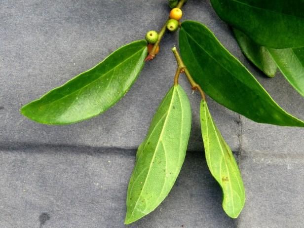 Ficus recurva IMG_1341 .JPG