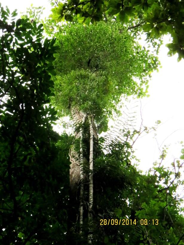 Ficus trichocarpa IMG_0015 - Copy.JPG