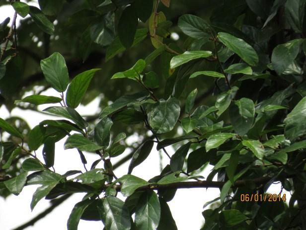 Ficus trichocarpa IMG_8578.JPG