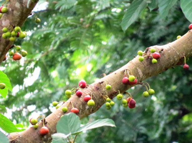 Ficus variegata IMG_0055.JPG