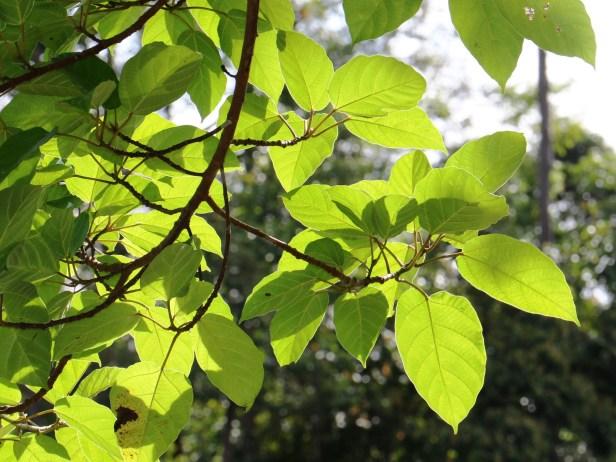 Ficus variegata Maliau 3Y3A2515.JPG