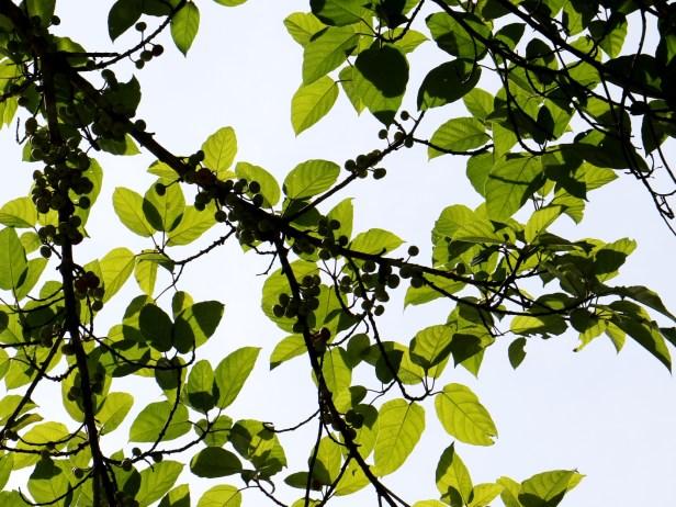 Ficus variegata Maliau 3Y3A2519.JPG