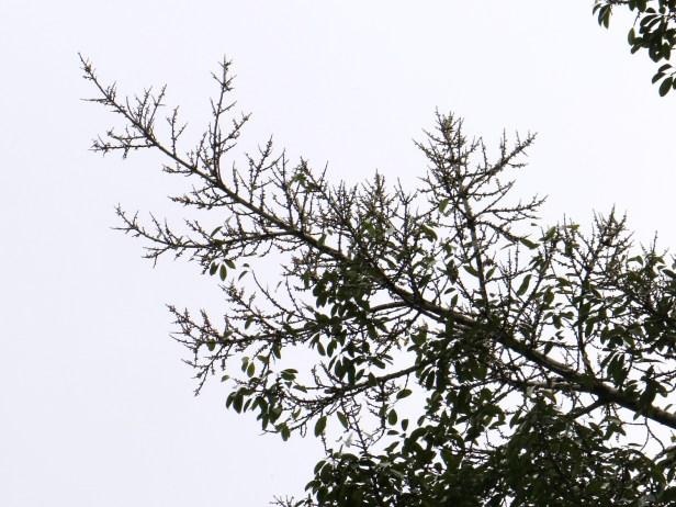 Ficus virens 3Y3A1465.JPG