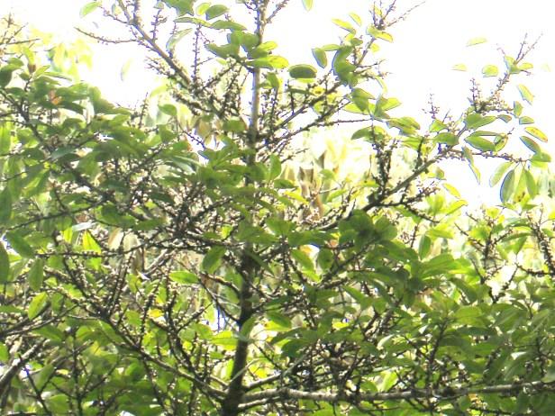 Ficus virens 3Y3A1469 - Copy (2).JPG