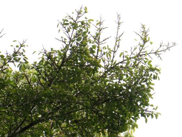 Ficus virens 3Y3A1469 - Copy.JPG
