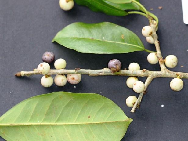 Ficus virens, Kuching 73 - Copy.JPG