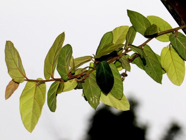 Trichocarpa 3Y3A1709.JPG