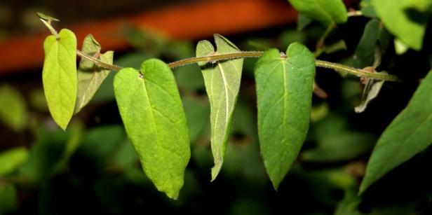 Trichocarpa Y3A1708.JPG