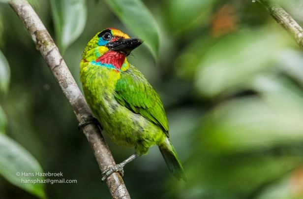 204 Red-throated Barbet BQ0I9839 - Copy.jpg