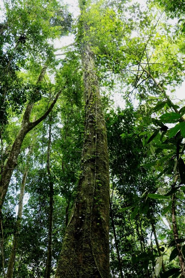Ficus grandiflora 3P7A9928 - Copy.JPG