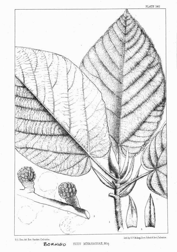 Ficus minahassae King (1887) enhanced.jpg