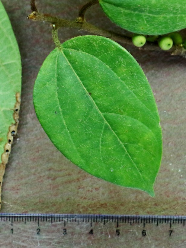 Ficus recurva 3P7A9868.JPG