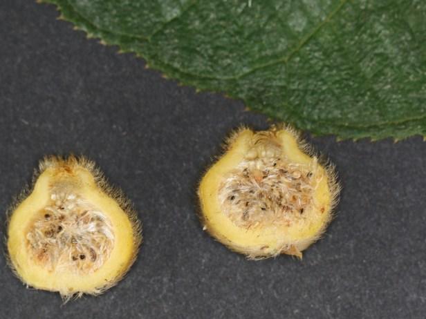 Ficus aurata 3Y3A0356 - Copy.JPG