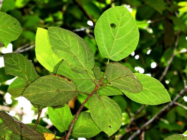 Ficus fulva 3Y3A0274.JPG