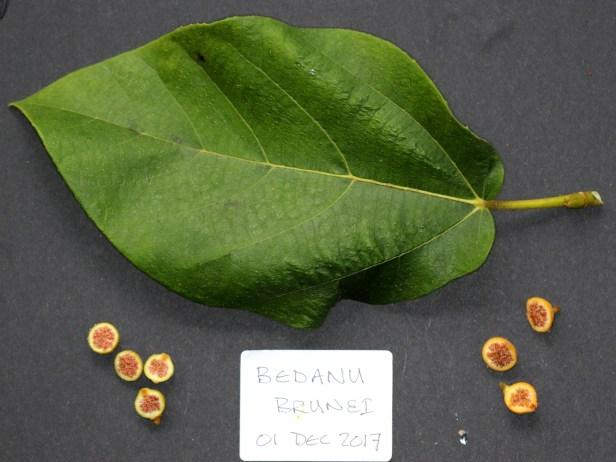 Ficus fulva 3Y3A0368.JPG