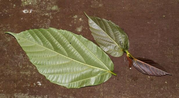 Ficus grossularioides IMG_0857.JPG