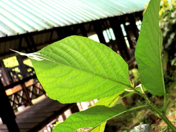 Ficus grossularioides IMG_0858.JPG