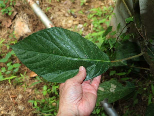 Ficus grossularioides IMG_0866.JPG
