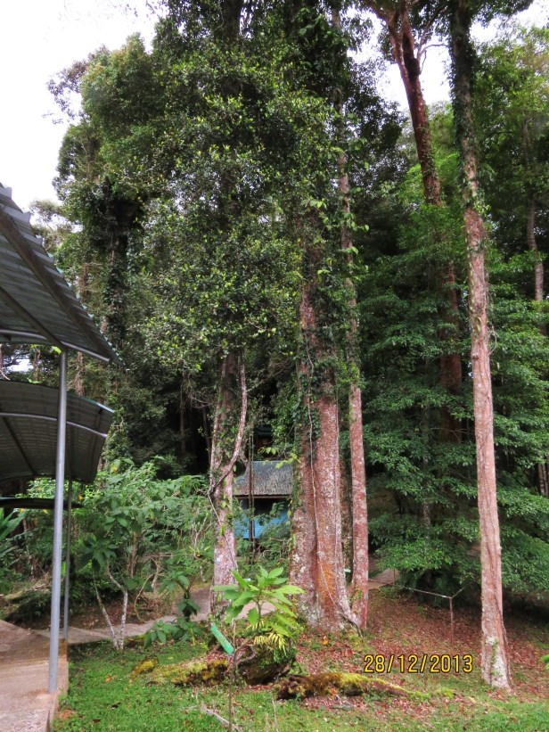 Ficus ruginerva IMG_7035.JPG