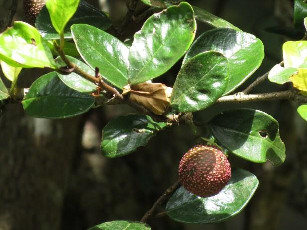 Ficus ruginerva IMG_7409