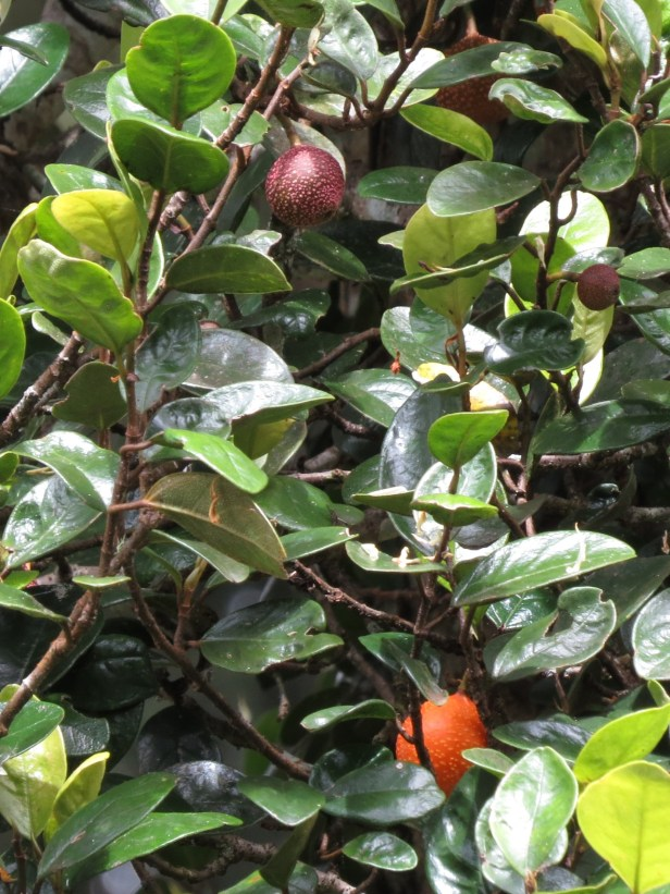 Ficus ruginerva IMG_7416.JPG