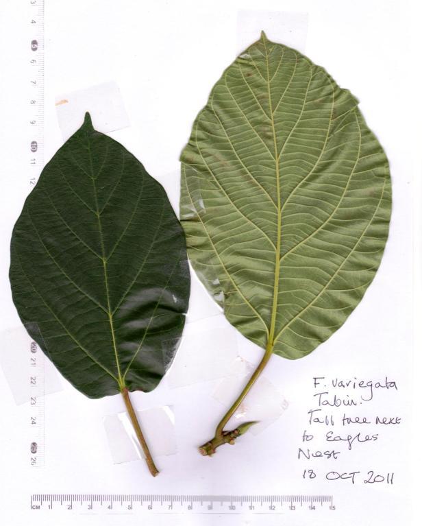 01 Tabin  Ficus variegata 18 Oct 2011 001.jpg