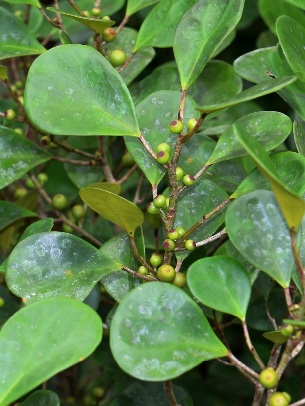 Ficus deltoidea IMG_2392.JPG