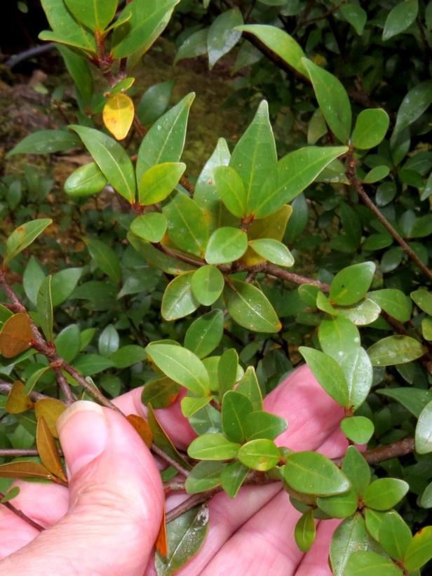 Ficus oleifolia IMG_0338.JPG