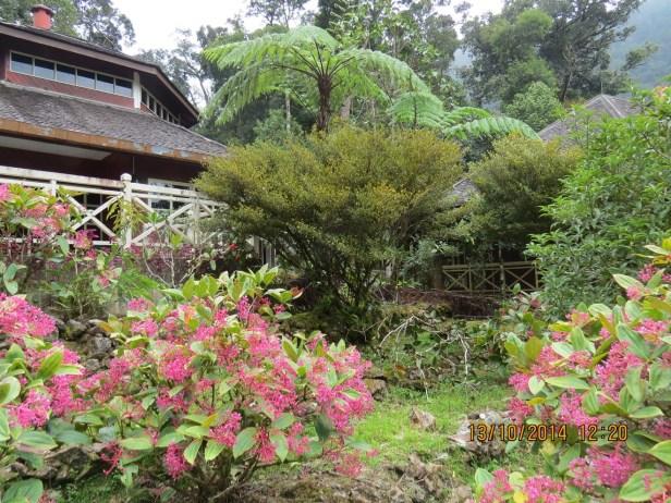 Ficus oleifolia IMG_0368.JPG