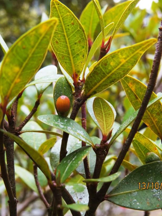 Ficus oleifolia IMG_0385.JPG