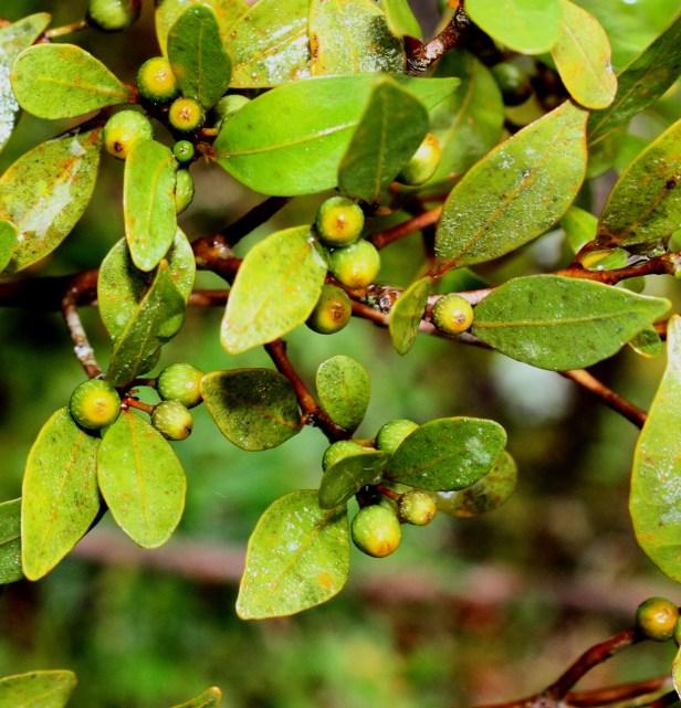 Ficus oleifolia IMG_2172.JPG