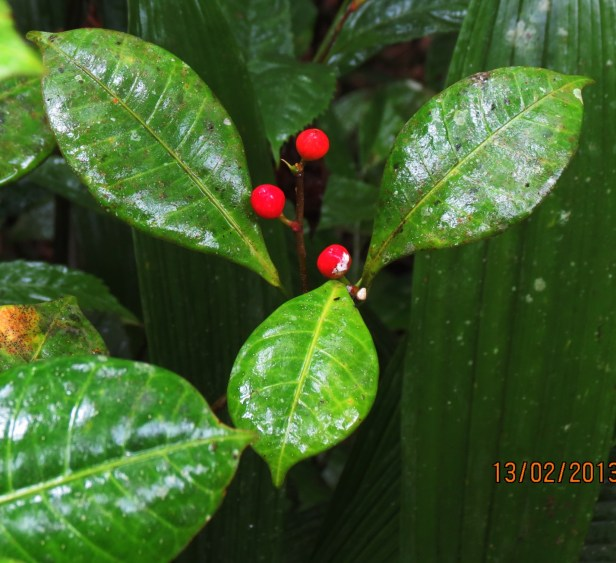 Ficus oleifolia IMG_2729.JPG