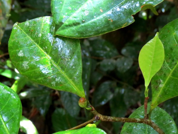 Ficus oleifolia IMG_2738.JPG