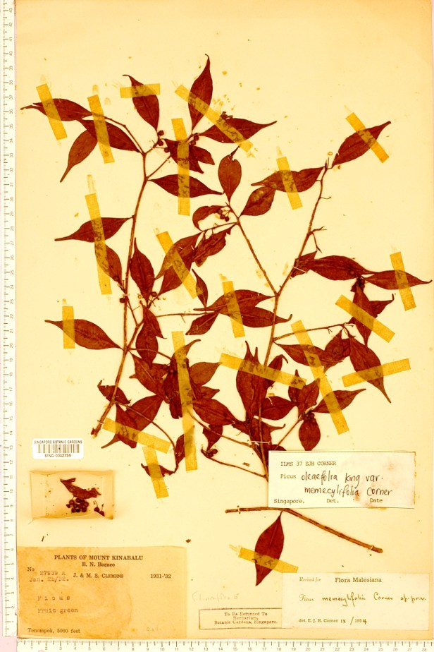 TYPE oleifolia memecylifolia Tenompok Clemmens SING - Copy