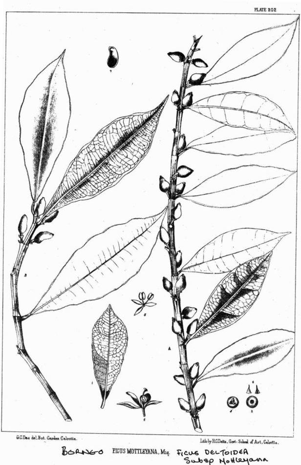 Ficus deltoidea var motleyana.jpg