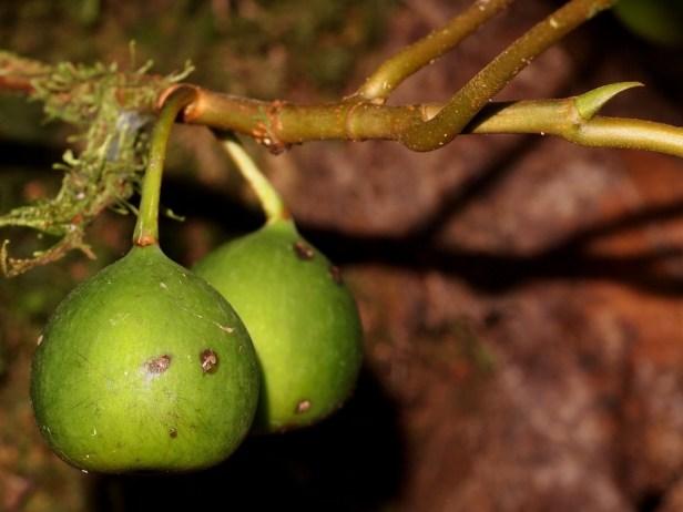 Ficus laevis 06 P2132321.JPG