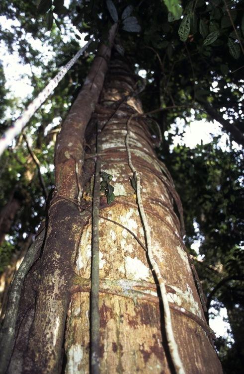Ficus lowii GW917_3 - Copy.jpg