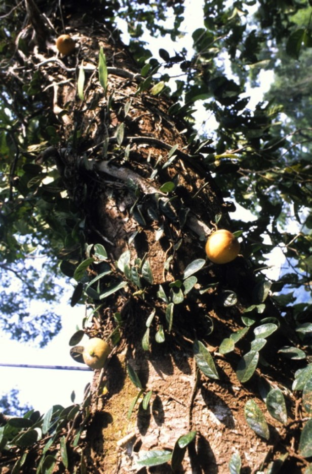 Ficus punctata GW896_2 - Copy.jpg