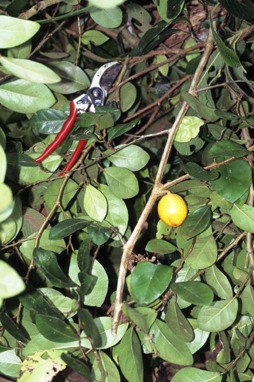 Ficus ruginerva GW854_1