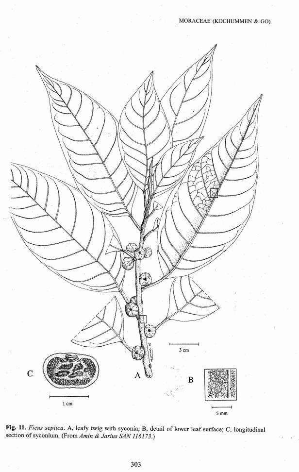 Ficus septica TFSS enhanced.jpg
