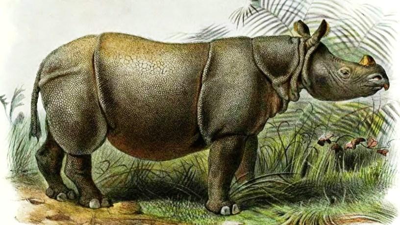 Fig Ecology: Javan Rhinoceros - THE FIGS OF BORNEO