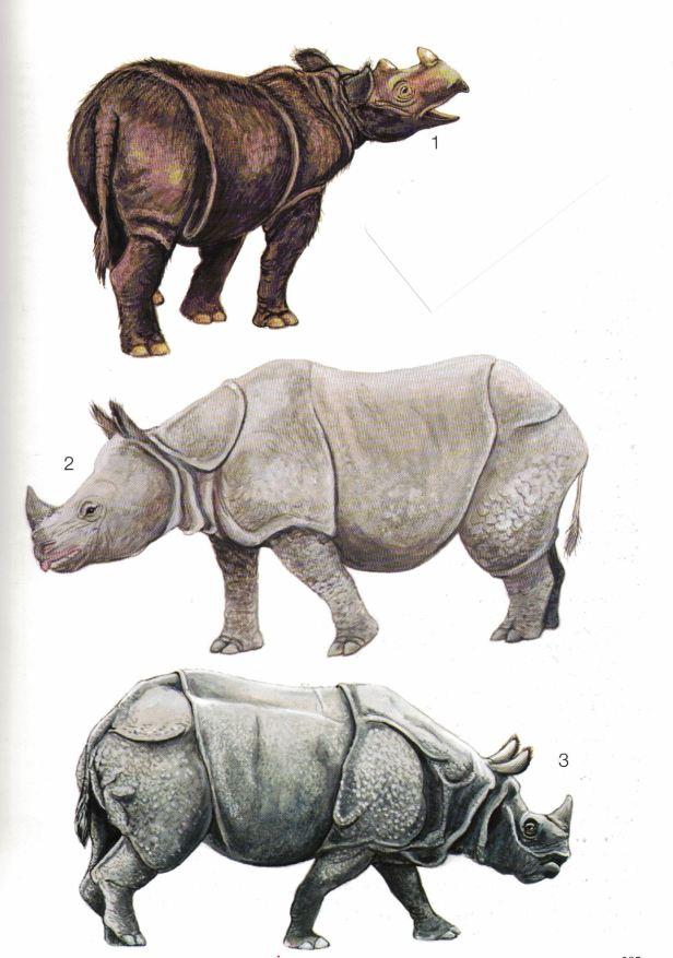 Rhinoceros Borneo