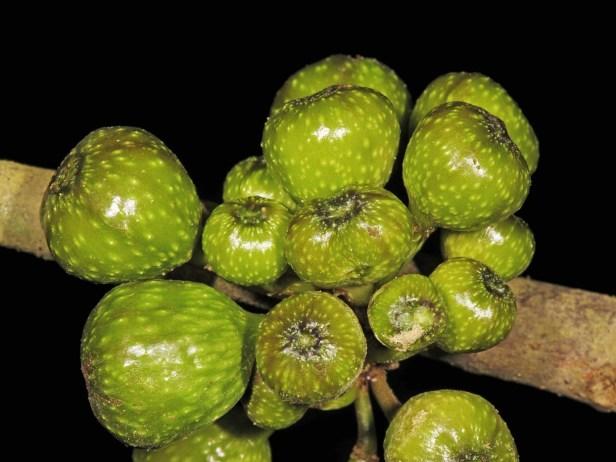 03 Ficus ixoroides - 33.jpg