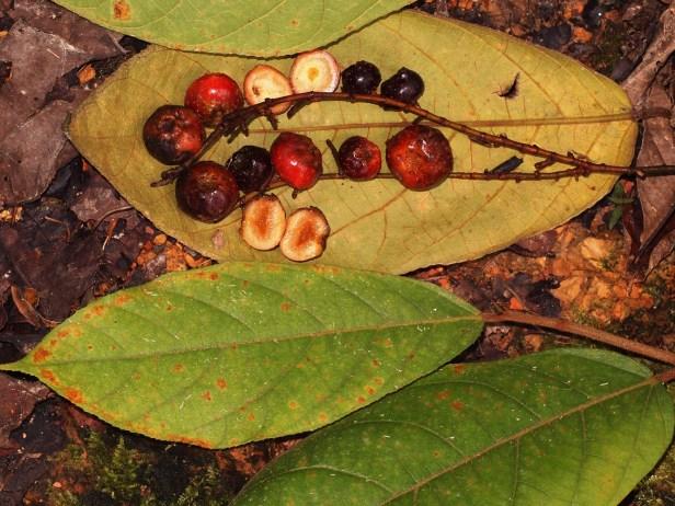 04 Ficus stolonifera P7142041.JPG