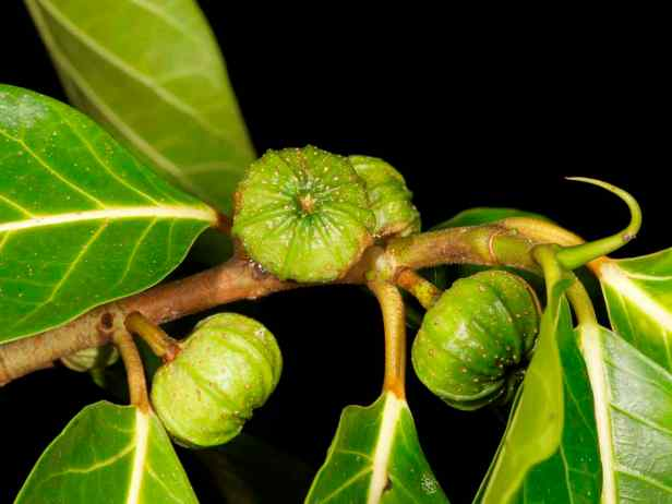 05 Ficus septica - 6.jpg